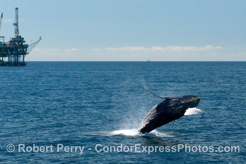 Humpback Whale (Megaptera novaengliae) breaching near Oil Platform Henry.