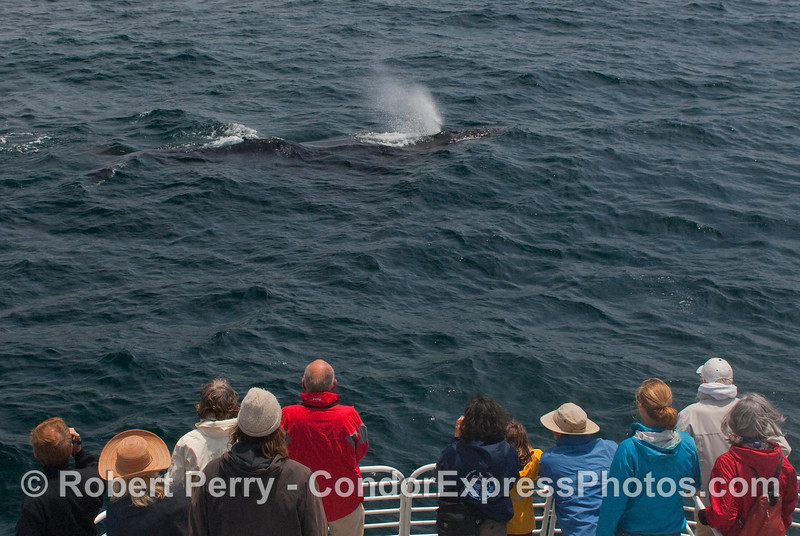 One of many close approaches by friendly Humpback Whales (Megaptera novaengliae).