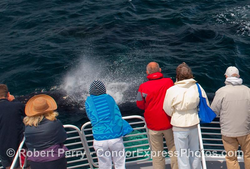 Megaptera novangliae spout close to passengers 2009 06-12 SB Channel a - 100modCROP