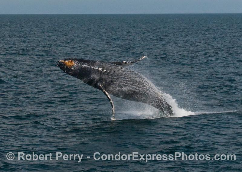 Humpback Whale breach (Megaptera novaengliae):  Image 5 of 8.