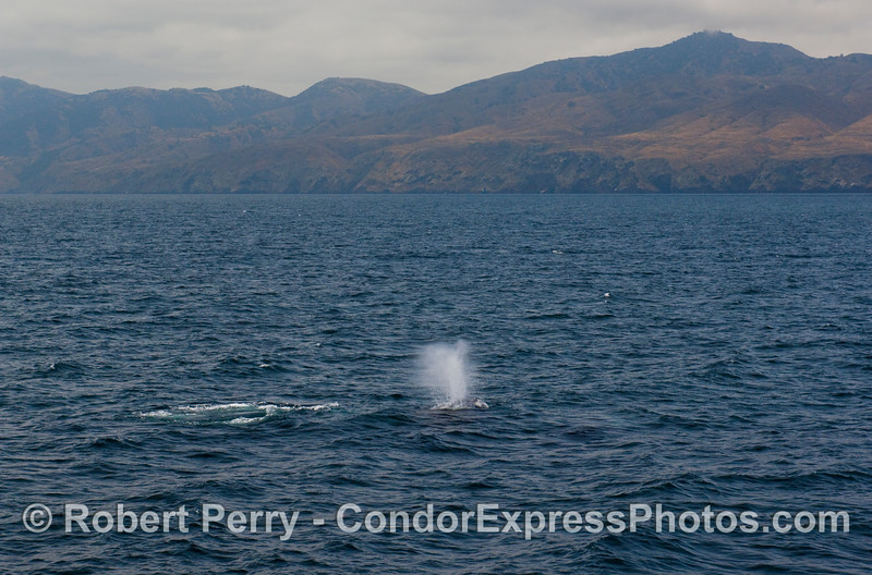 Humpbacks near Santa Cruz Island (Megaptera novaengliae).