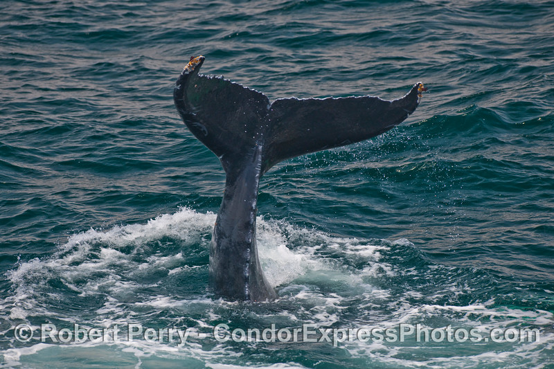 Standing on it's head, vertical in the water, a Humpback begins to slap its tail on the water (Megaptera novaengliae).