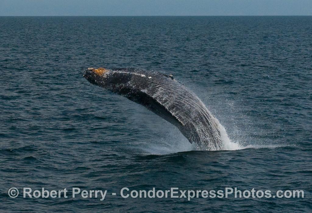 Humpback Whale breach (Megaptera novaengliae):  Image 4 of 8.