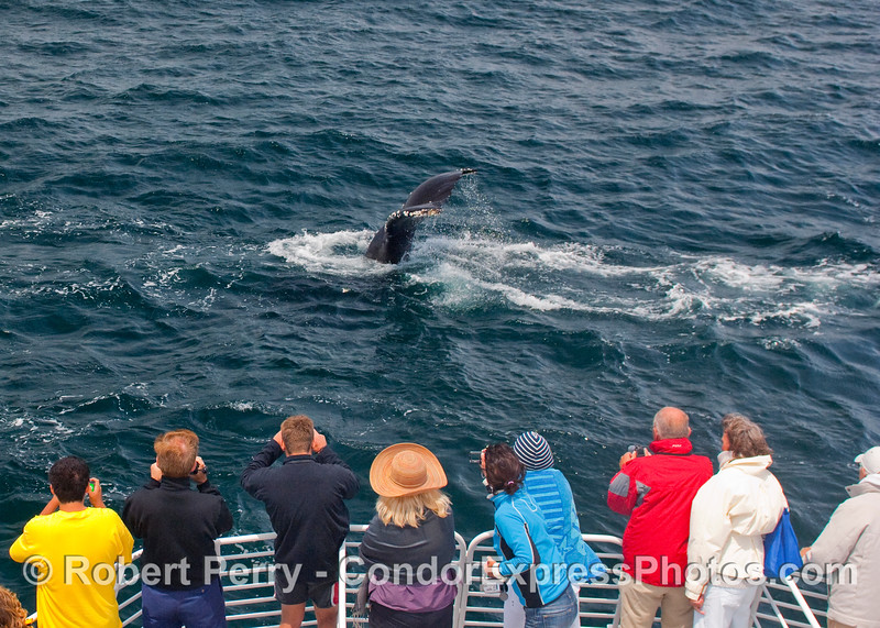Passengers on the Condor Express get a rare treat as this Humpback Whale shows off its flukes (Megaptera novaengliae).