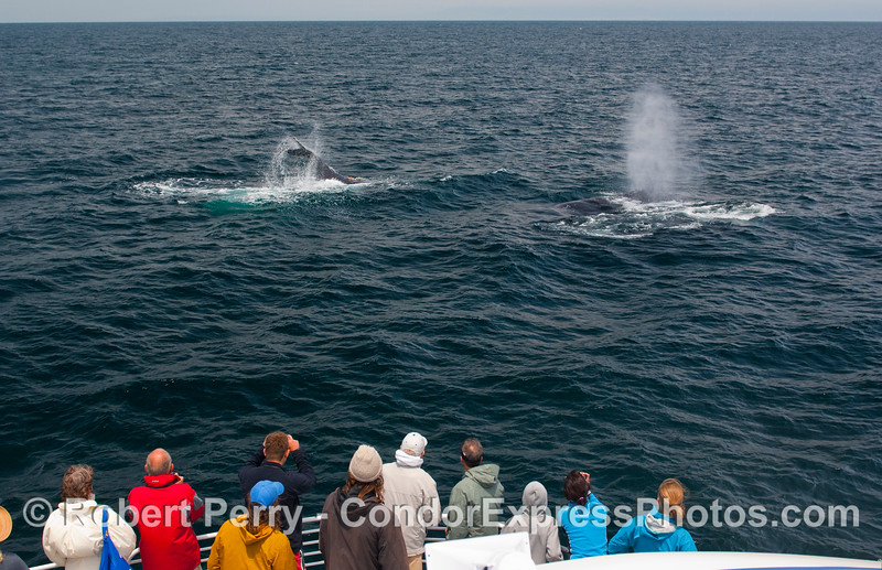 Two Humpbacks (Megaptera novaengliae) very close to the Condor Express passengers:  one lobs its tail while the other one spouts.