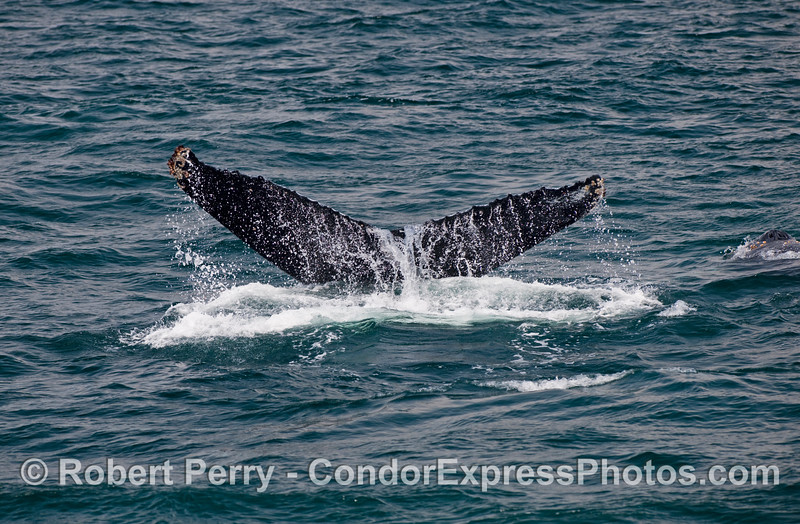Humpbacks are identified by the distinct color patterns as well as scalloping on their tail flukes (Megaptera novaengliae).