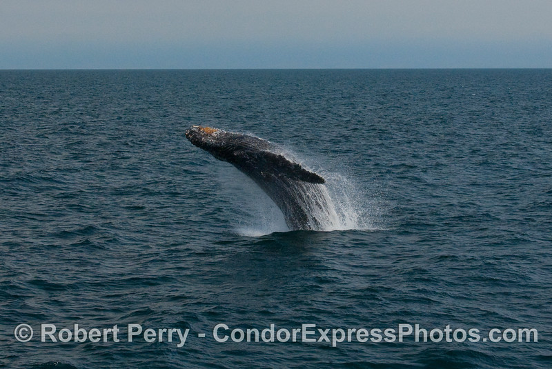 Humpback Whale breach (Megaptera novaengliae):  Image 3 of 8.