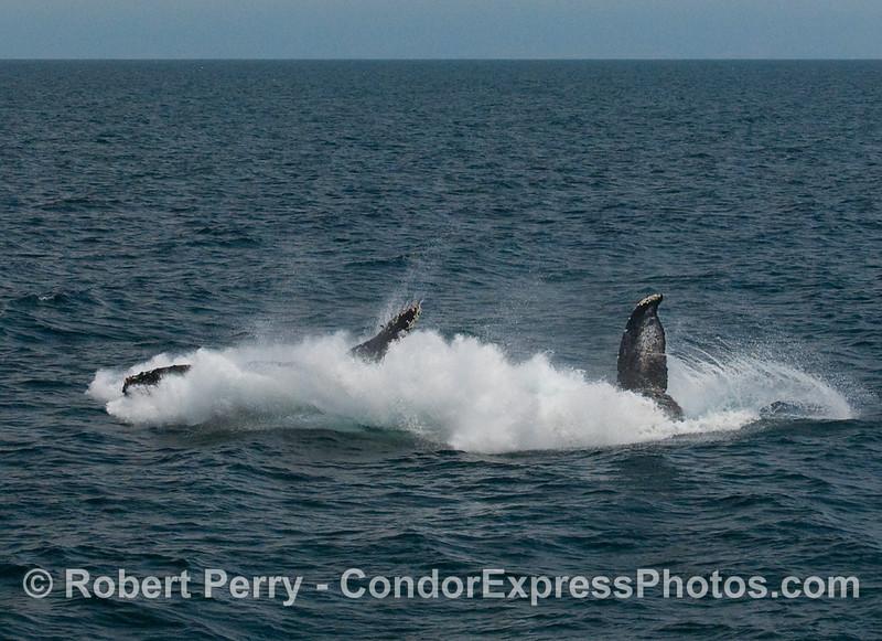 Humpback Whale breach (Megaptera novaengliae):  Image 7 of 8.