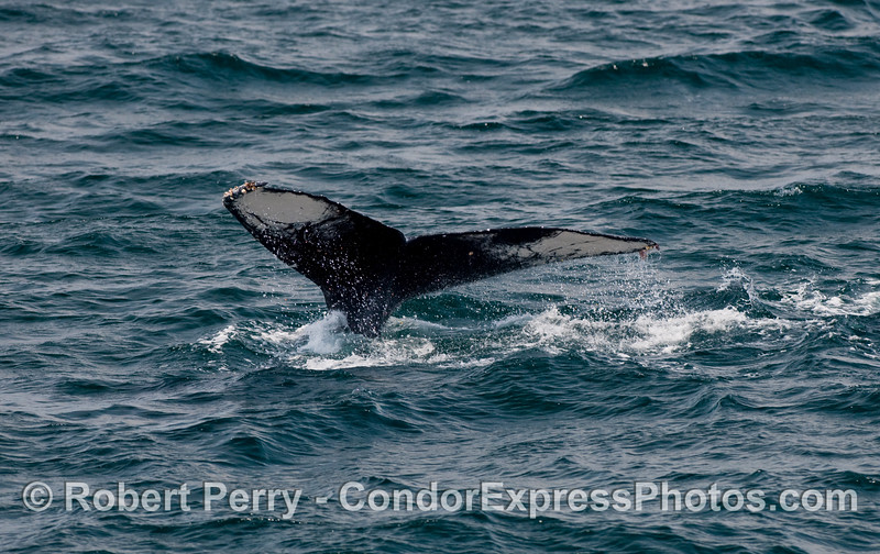 Compare the color pattern on this Humpback Whale tail (Megaptera novaengliae) with the pattern on the next picture.