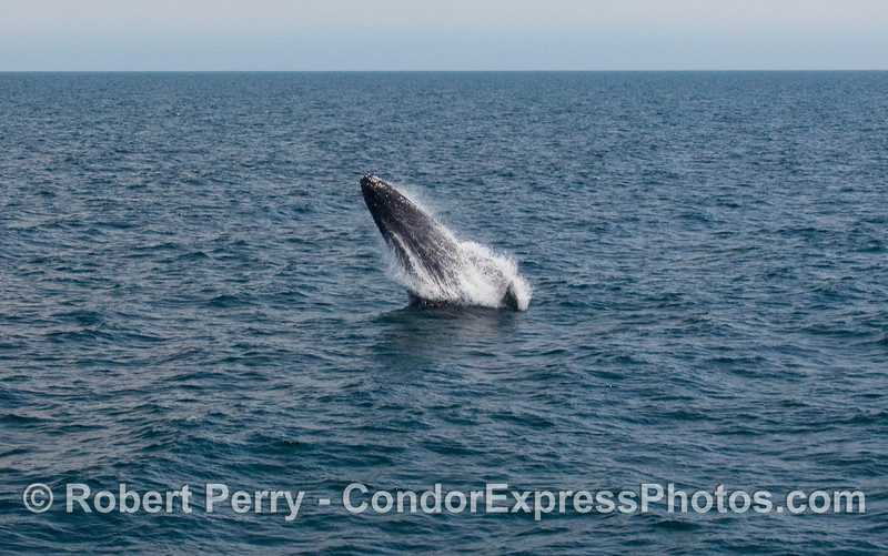 Humpback Whale breach (Megaptera novaengliae):  Image 1 of 8.