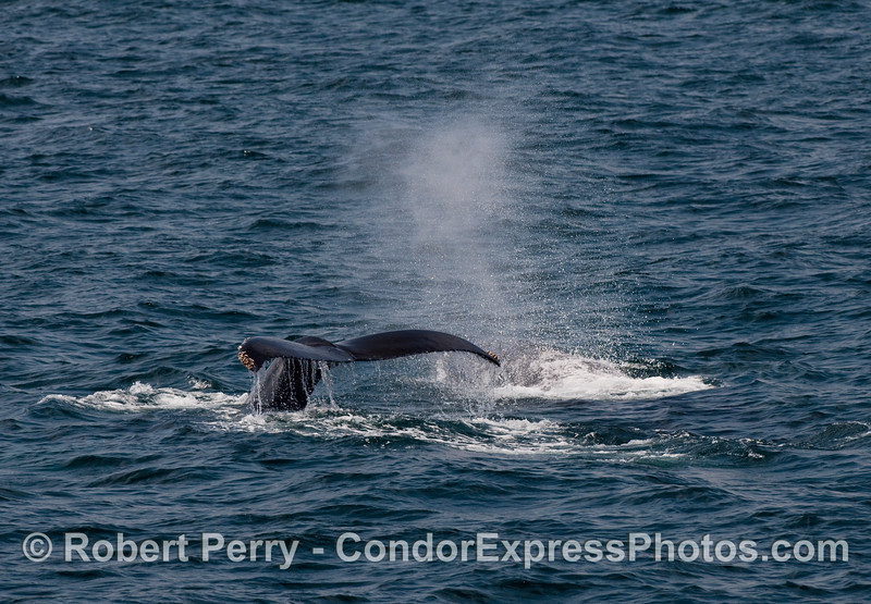 Two Humpback Whales, one tail fluke and one spout (Megaptera novaengliae).