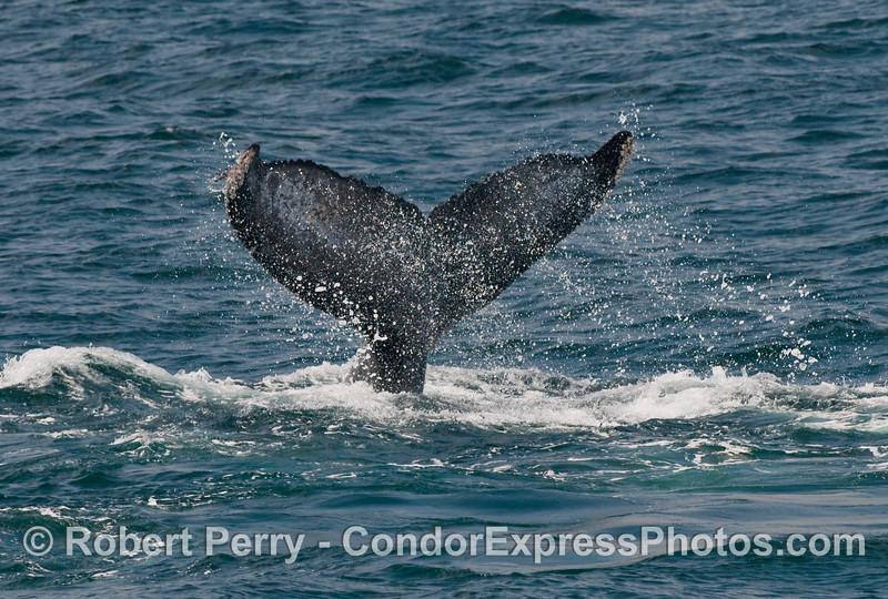 Humpback Whale tail fluke with plenty of spray (Megaptera novaengliae).