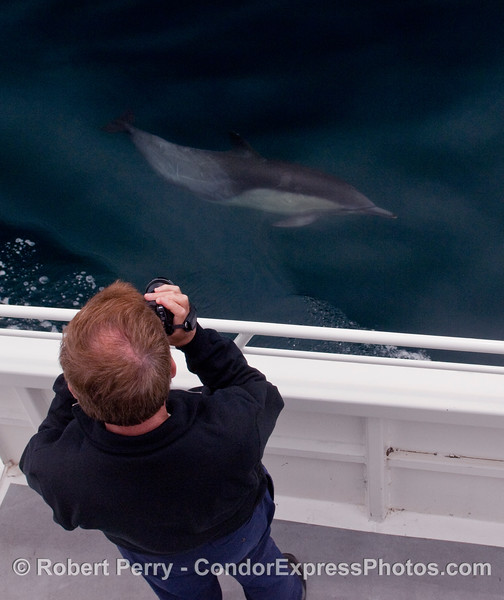 Passenger gets a picture of a Common Dolphin (Delphinus capensis) swimming alongside the Condor Express.