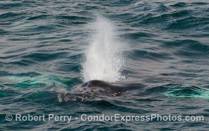 The knobby head, bushy spout, and long white pectorals (underwater) of a Humpback Whale (Megaptera novaengliae).
