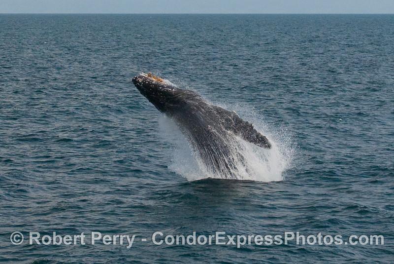 Humpback Whale breach (Megaptera novaengliae):  Image 2 of 8.
