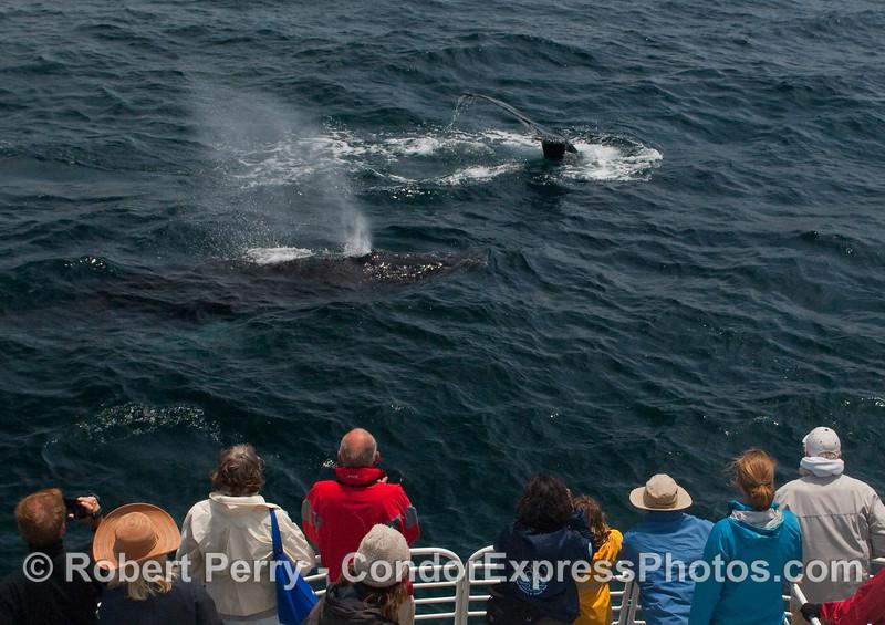 Two very friendly Humpback Whales (Megaptera novaengliae).