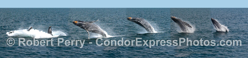 Humpback Whale breach montage - put together in PhotoShop - not all one natural image.