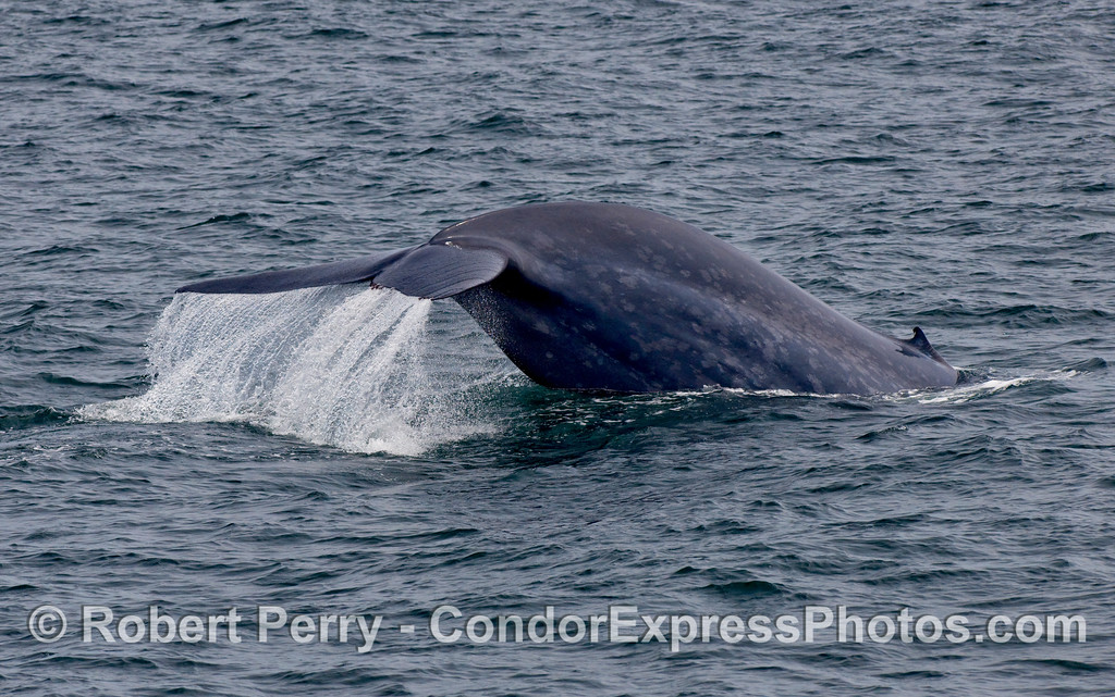 Blue Whale tail fluke (Balaenoptera musculus).  Note mottled body coloration and tiny dorsal fin.