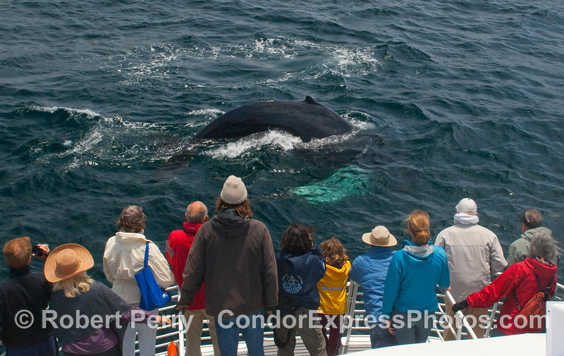 Passengers on the Condor Express enjoy a friendly Humpback Whale (Megaptera novaengliae) as it begins a deep dive.  Note the long, white pectoral fin under the water.