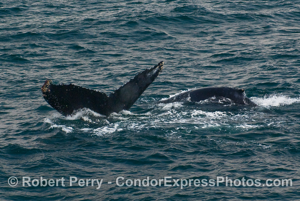 Two Humpbacks - a fluke and a dorsal fin (Megaptera novaengliae).