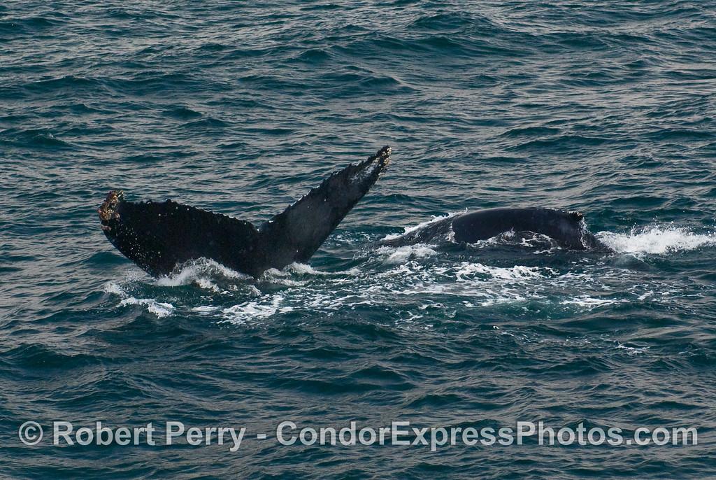 Two Humpbacks - a fluke and a dorsal fin (Megaptera novaengliae).