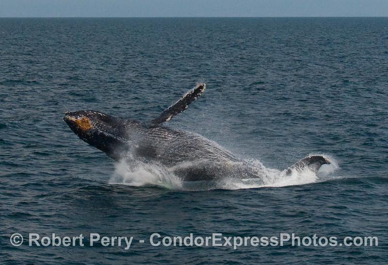 Humpback Whale breach (Megaptera novaengliae):  Image 6 of 8.