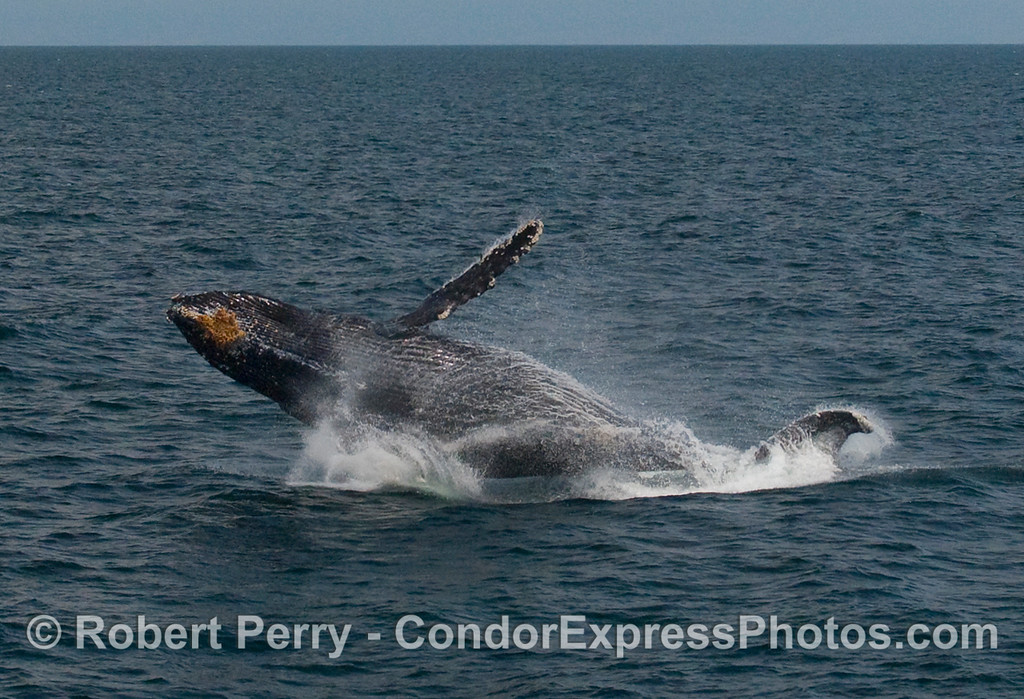Humpback Whale breach (Megaptera novaengliae):  Image 6 of 8.