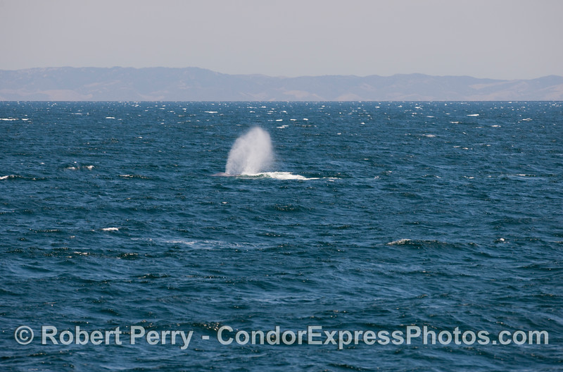 The tall and strong blow of a Blue Whale on a windy ocean (Balaenoptera musculus).