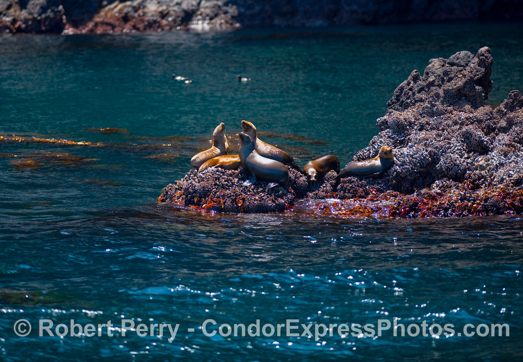 Six California Sea Lions (Zalophus californianus) soak up the bright sunlight on a rocky outcrop at Santa Cruz Island.