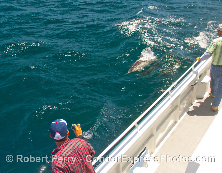 Passengers enjoy watching Common Dolphins (Delphinus capensis) surf the wake of the Condor Express.