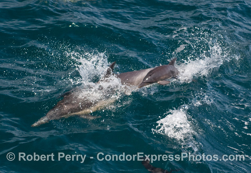 Junior takes a leap!   Very very young Common Dolphin (Delphinus capensis) takes a leap alongside mom.