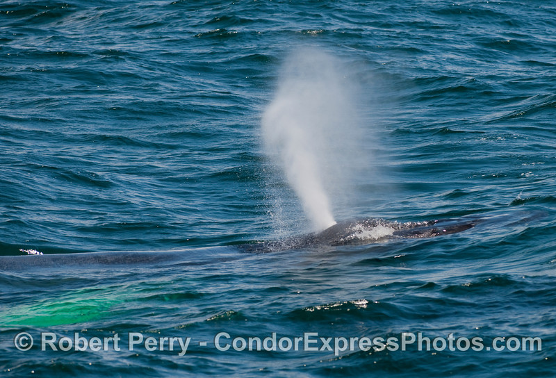 A spouting Humpback Whale (Megaptera novaengliae) in clear blue water.