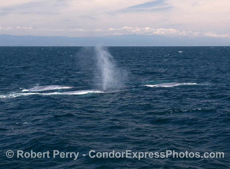 Four Blue Whales (Balaenoptera musculus) - three up, one just below.