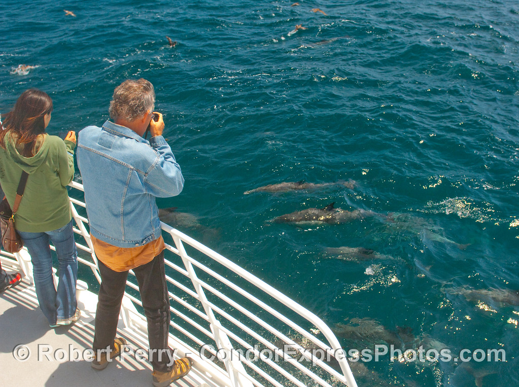 Common Dolphins (Delphinus capensis) put on a show for the passengers on the Condor Express.