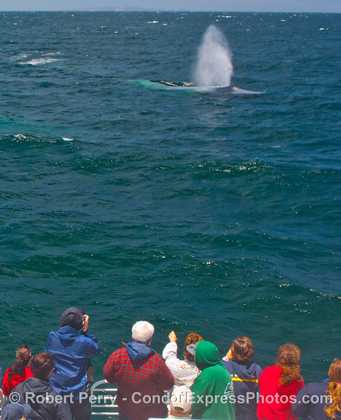 A close approach by a Blue Whale (Balaenoptera musculus)  thrills the passengers on the Condor Express.