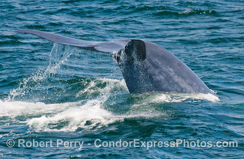 The mighty tail flukes and thick tail stock of a diving Blue Whale (Balaenoptera musculus).