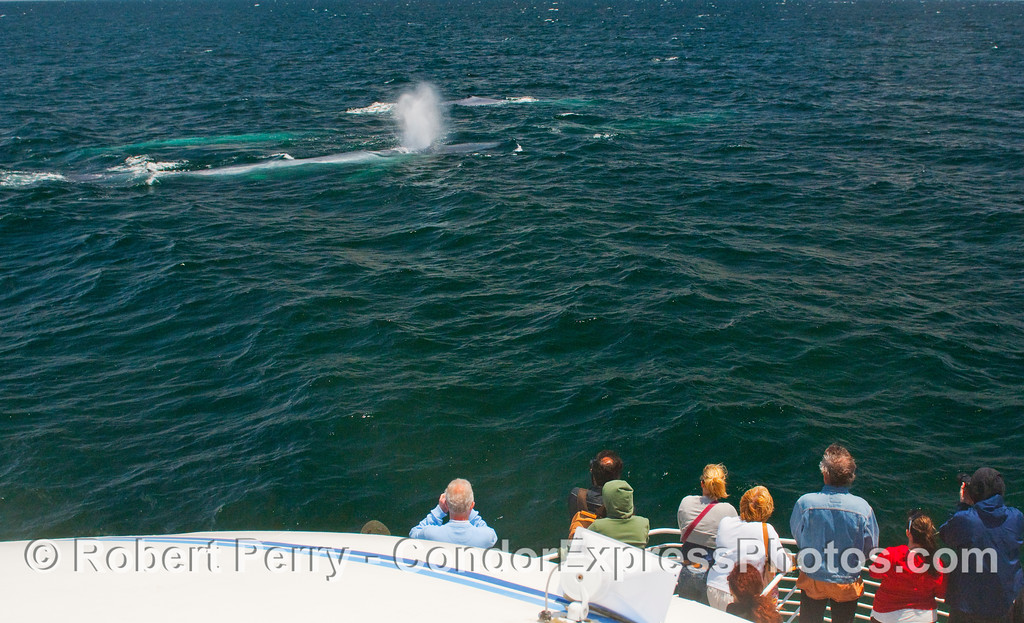 Four Blue Whales (Balaenoptera musculus) - two on the surface and two more glowing neon blue just beneath the surface - have a very friendly approach to the Condor Express.  Passengers on the bow enjoy this rare treat.