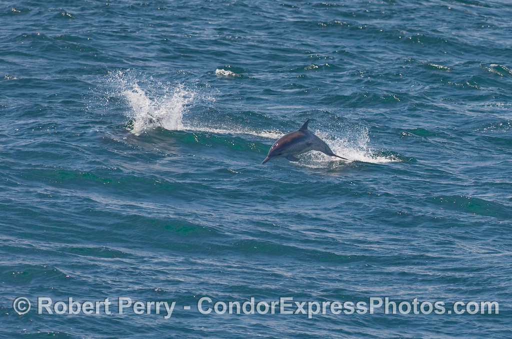 Common dolphin (Delphinus capensis) makes an abrupt course change and heads for the Condor Express.