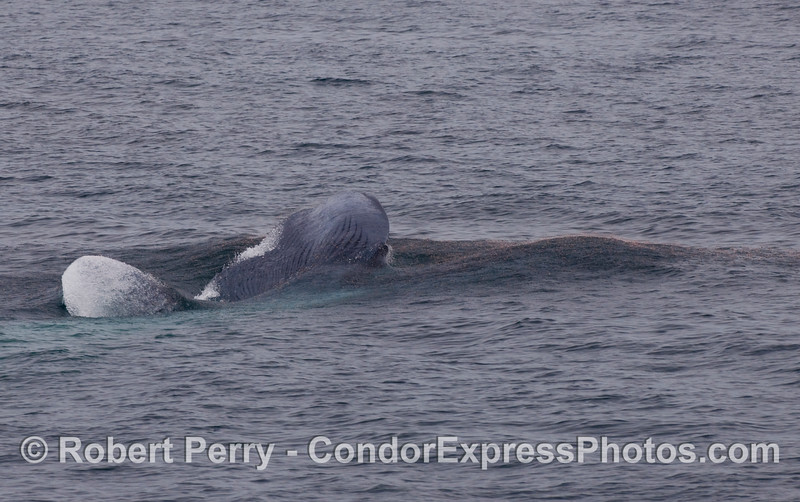 Blue Whale (Balaenoptera musculus) lunging sideways at the krill, breaking the surface.  Image 2 of 4.