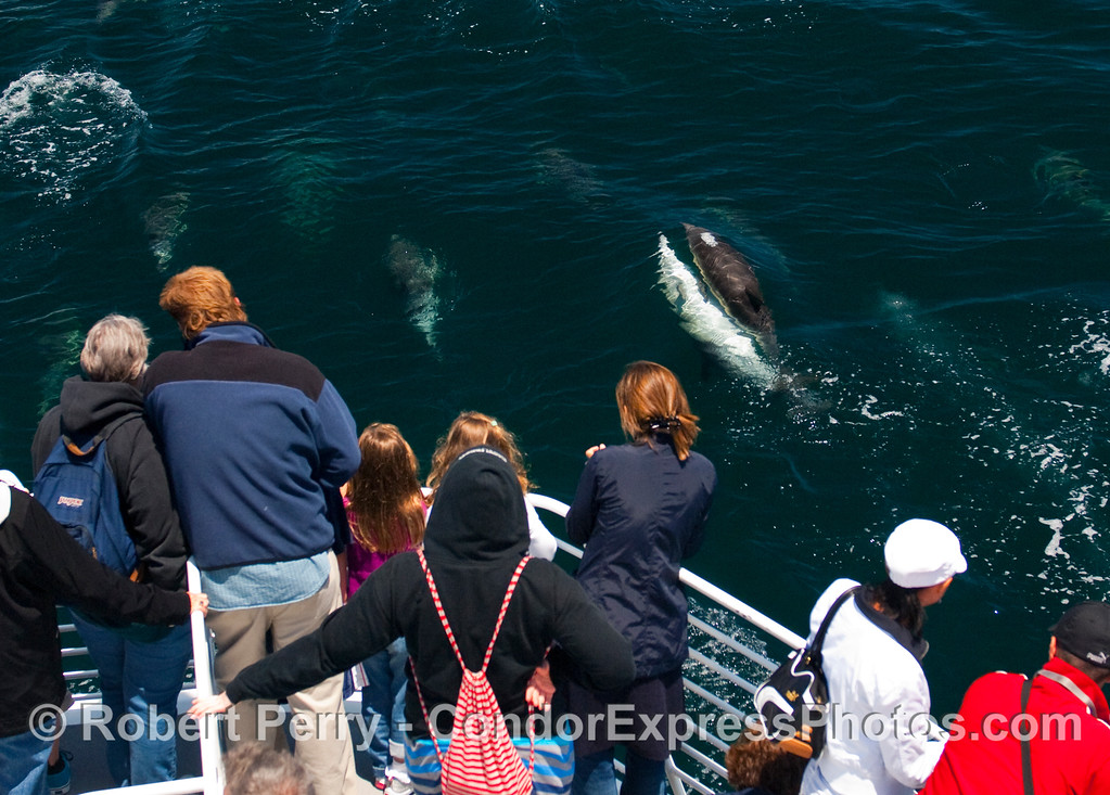 Common Dolphins (Delphinus capensis) reproduce right in front of the passengers.