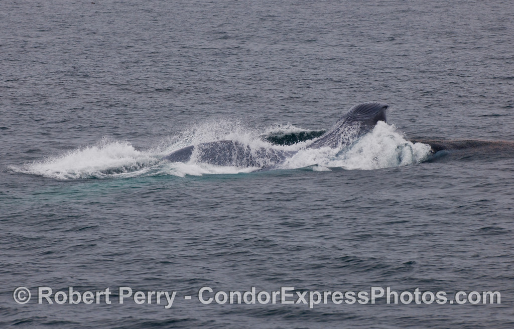 Blue Whale (Balaenoptera musculus) lunging sideways. Image 4 of 4.