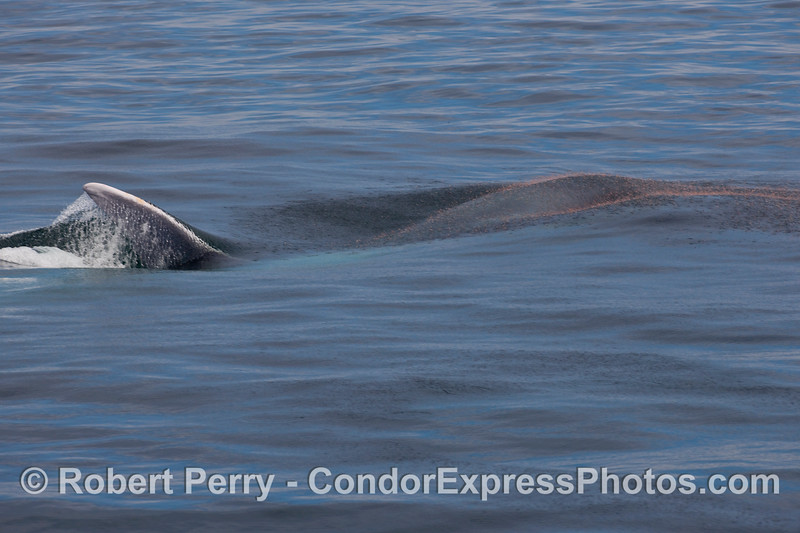 Blue whale (Balaenoptera musculus) lunge sequence: image 1 of 4.   Krill can be seen to the right popping out of the water to escape their doom.