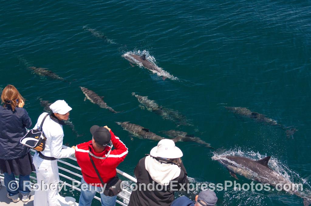 "Common Dolphins (Delphinus capensis) running alongside the Condor Express providing a ""Kodak moment."""
