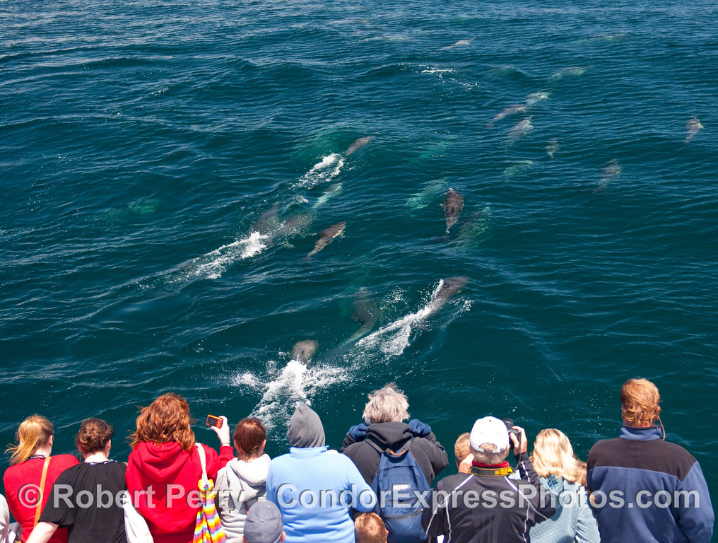 A lot of Common Dolphins (Delphinus capensis) ahead of the Condor Express.