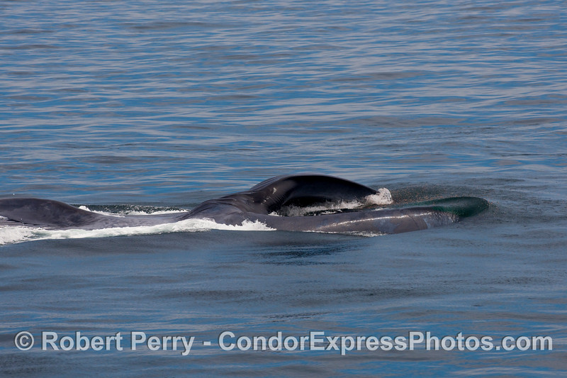 Blue whale (Balaenoptera musculus) lunge sequence: image 4 of 4.