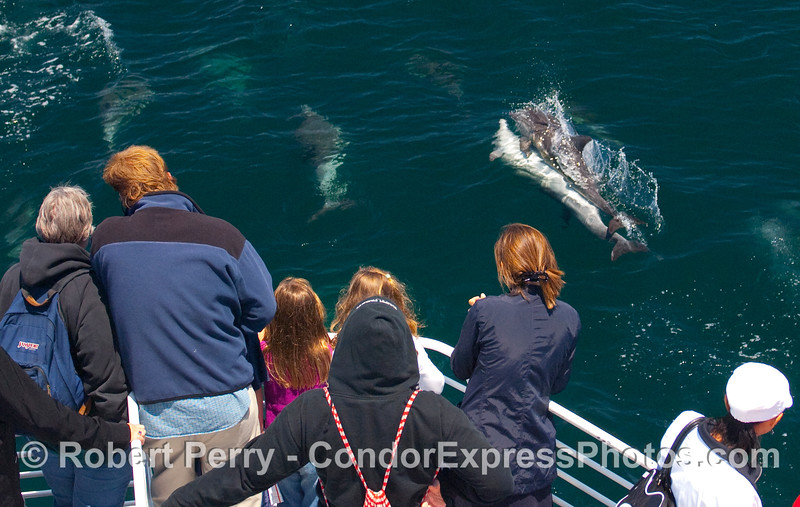 Continued study of the reproductive habits of Delphinus capensis....in other words, Common Dolphins shamelessly mating right off the bow of the Condor Express.