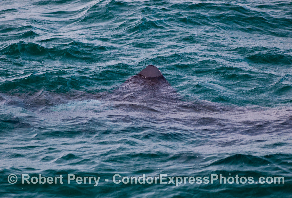 Choppy water, add a bit of phytoplankton green, and this is the best I could do to capture a large Basking Shark (Cetorhinus maximus) lumbering along just under the ocean surface with only the very tip of its massive dorsal fin exposed to the air.