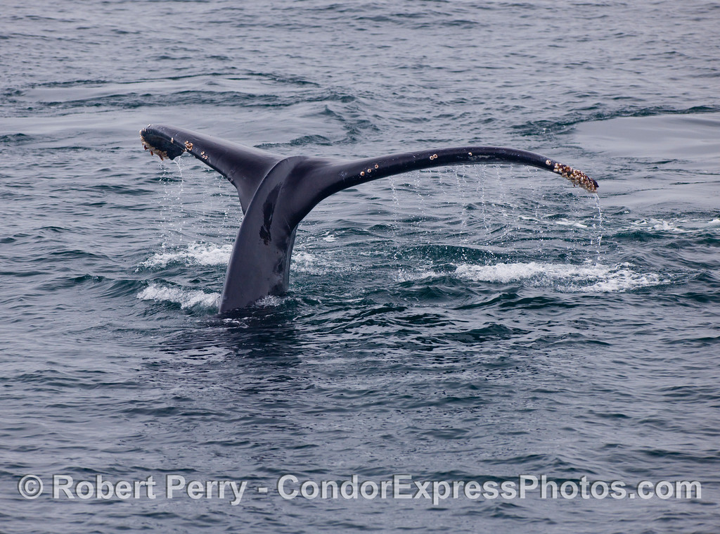 Humpback Whale (Megaptera novaengliae) with its tail flukes rising.