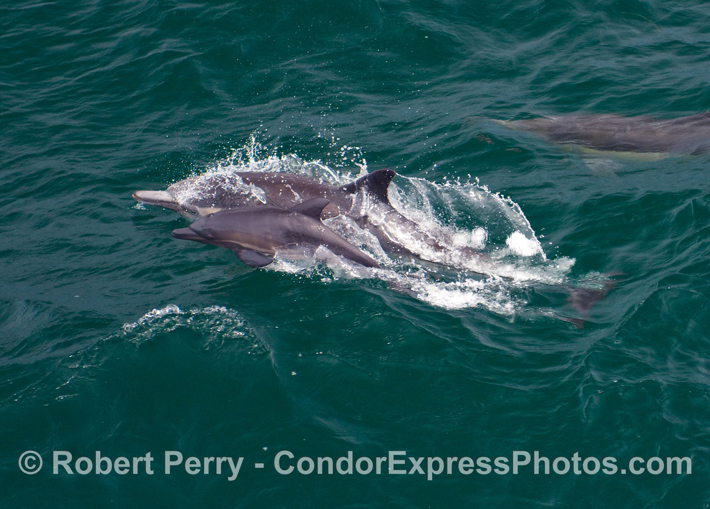 Mother Common Dolphin (Delphinus capensis) leaps out with her calf alongside.