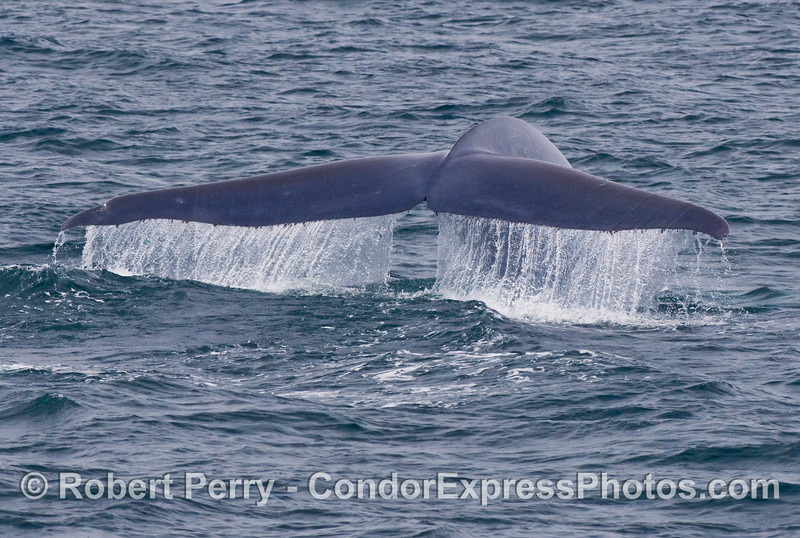 Blue Whale (Balaenoptera musculus) lifts its tail for a deep dive.